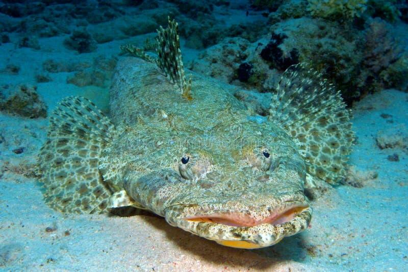 krokodilfische stockfoto bild von fische unterwasser