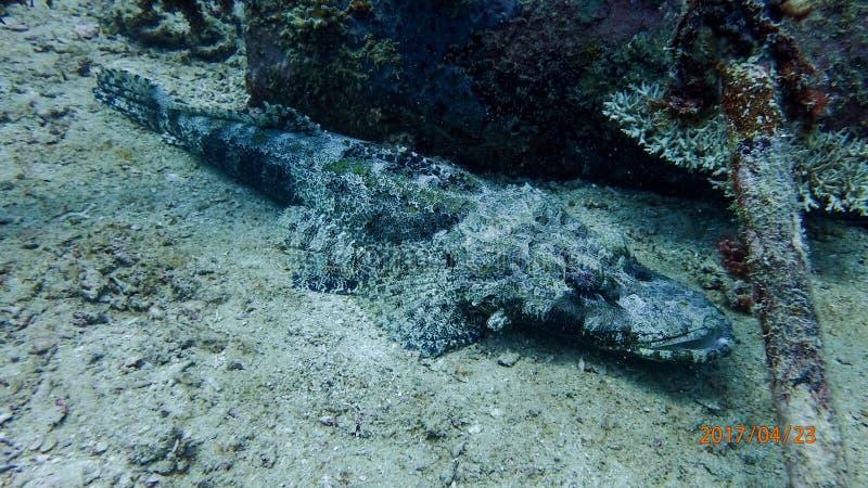 Krokodilfisk royaltyfri foto