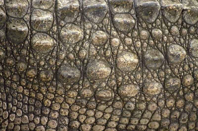 krokodilhud arkivbild