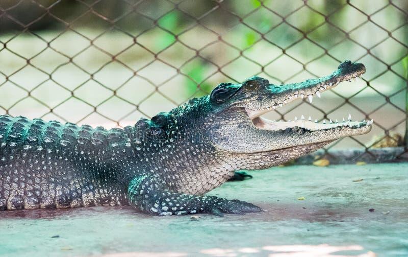 Krokodilhungermat royaltyfri fotografi