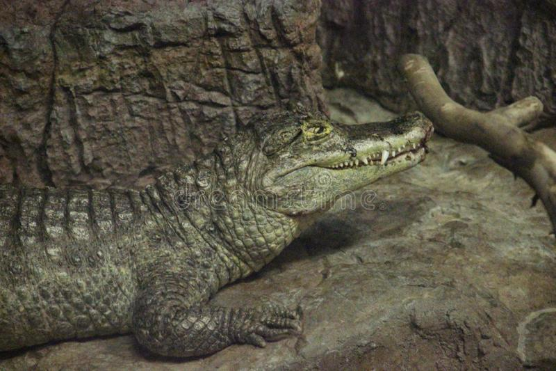 Krokodilkaiman-Kaiman Crocodilus lizenzfreie stockfotografie