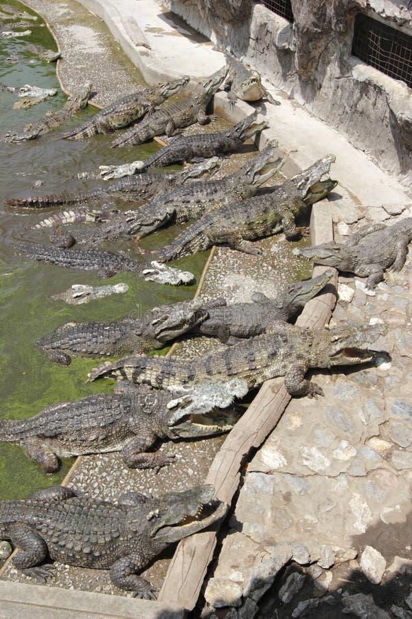Krokodillandbouwbedrijf het Voeden stock afbeelding