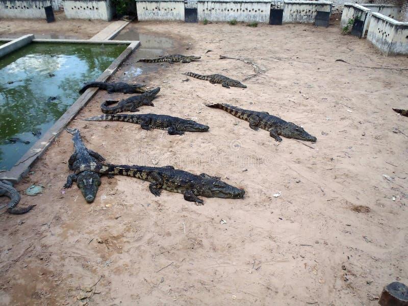 Krokodillantgård i Cambodja fotografering för bildbyråer