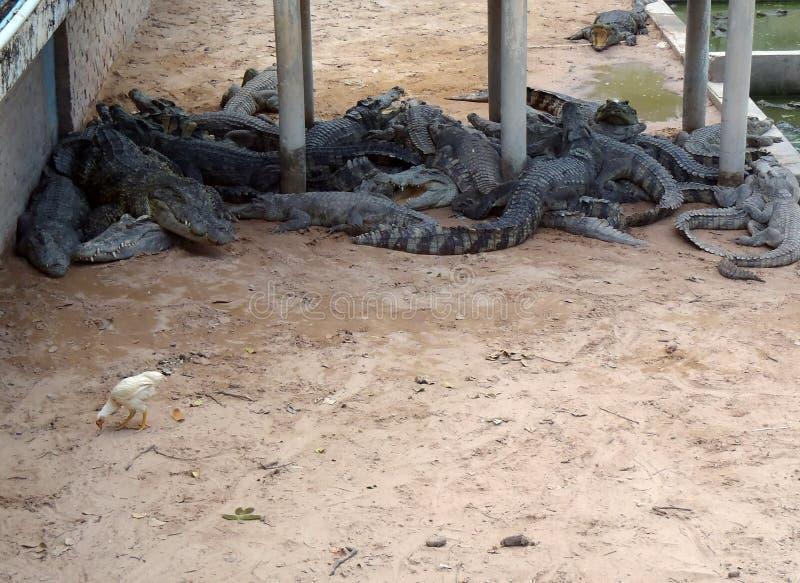 Krokodillantgård i Cambodja arkivbild