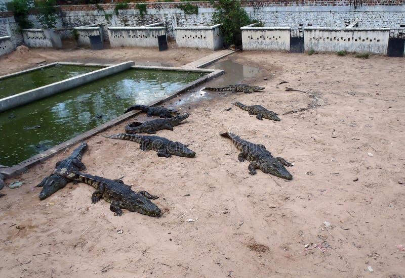Krokodillantgård i Cambodja royaltyfri foto