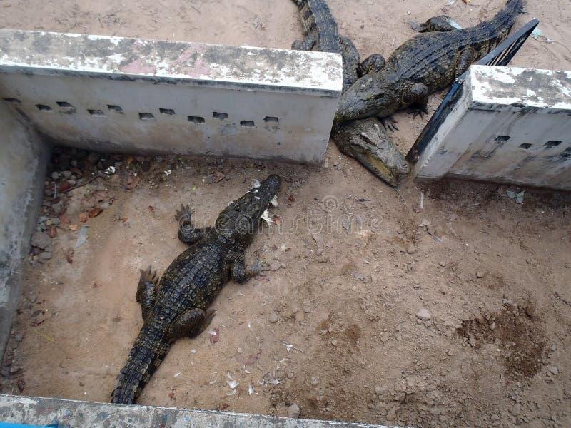 Krokodillantgård i Cambodja royaltyfri fotografi