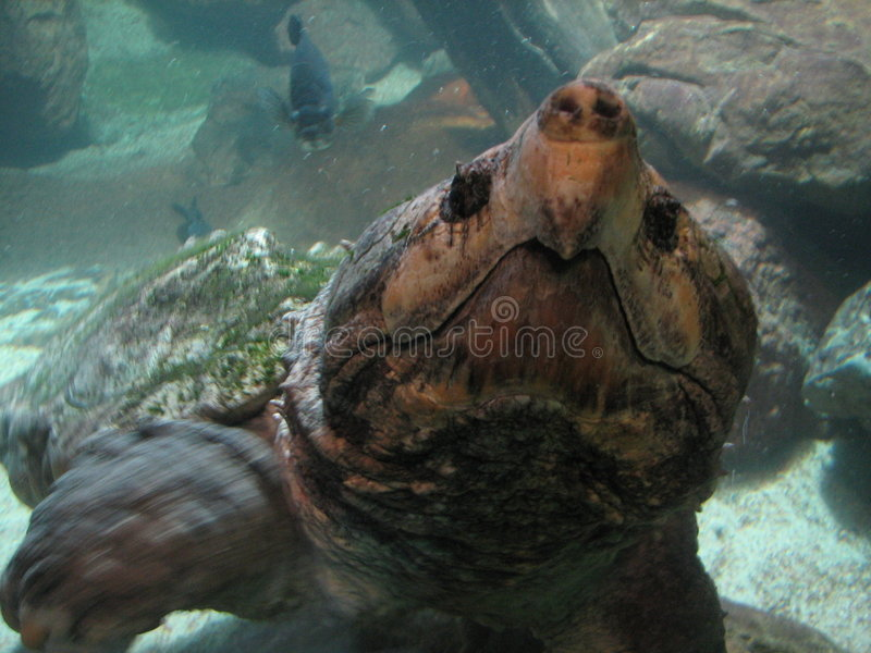Krokodille Schildpad stock afbeelding
