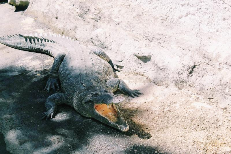 Krokodilleflorida royalty-vrije stock foto