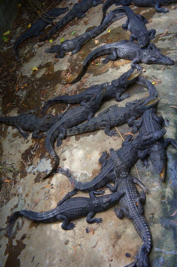 Krokodillekuil in Kambodja royalty-vrije stock afbeeldingen