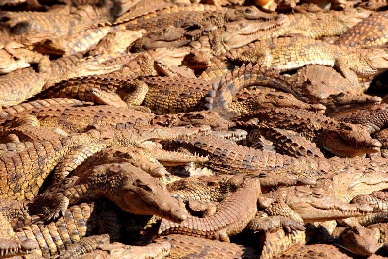 Krokodillen royalty-vrije stock afbeelding
