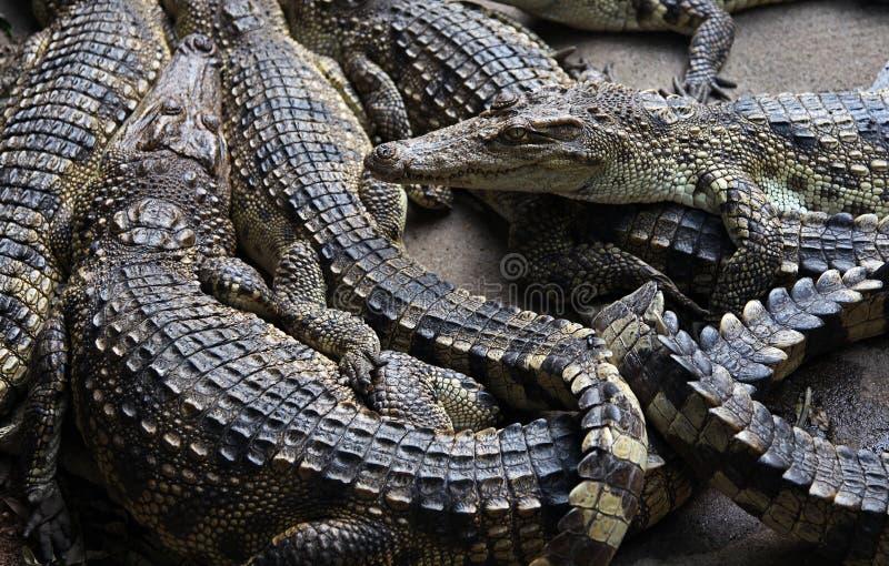 krokodillen royalty-vrije stock foto