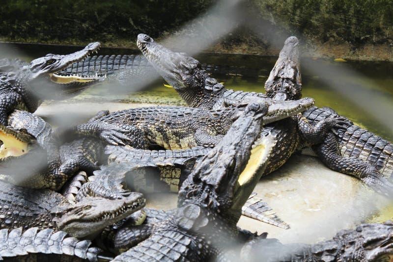 Krokodillen achter de tralies royalty-vrije stock foto's