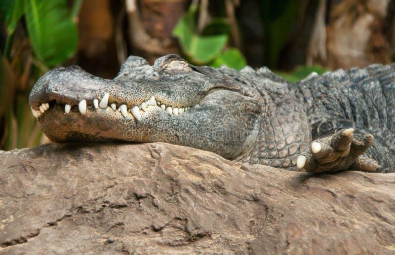 Krokodillen (alligator) stock foto