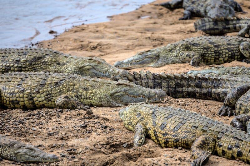 Krokodillen die in de Zon in het Nationale Park van Kruger zonnebaden royalty-vrije stock afbeeldingen