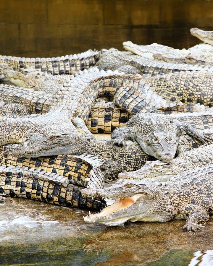 Krokodillen die voor vlees in behoudsinspanning worden bewerkt stock foto