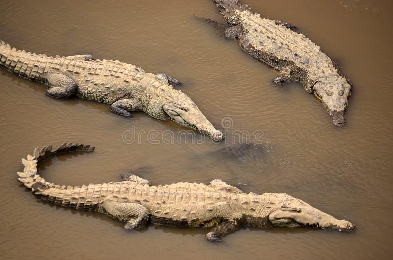 Krokodillen in een rivier in Costa Rica stock afbeeldingen