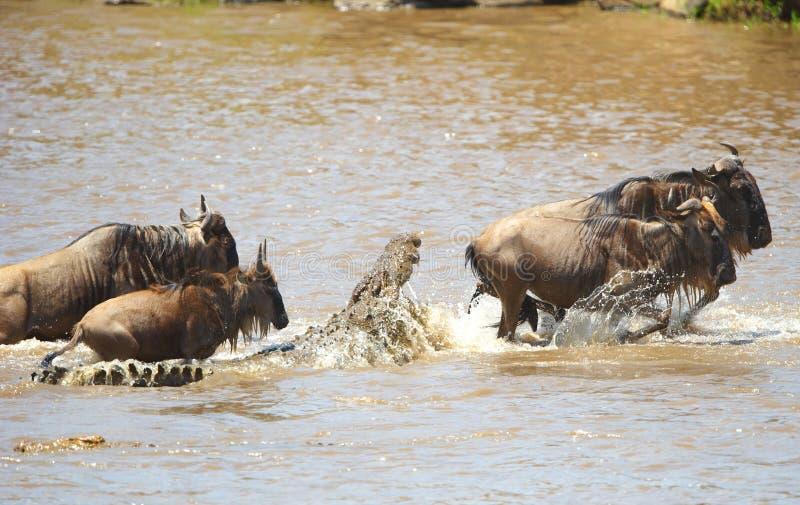 Krokodillen (niloticus Crocodylus) royalty-vrije stock foto