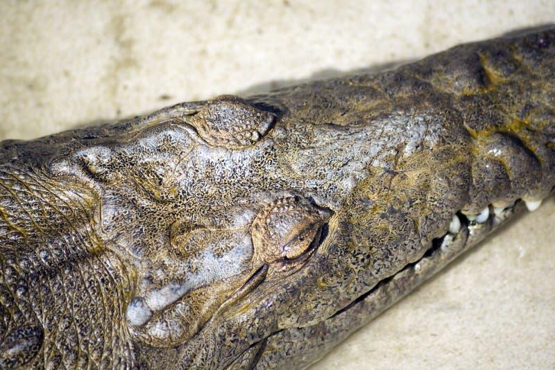 Krokodilprofil lizenzfreie stockbilder