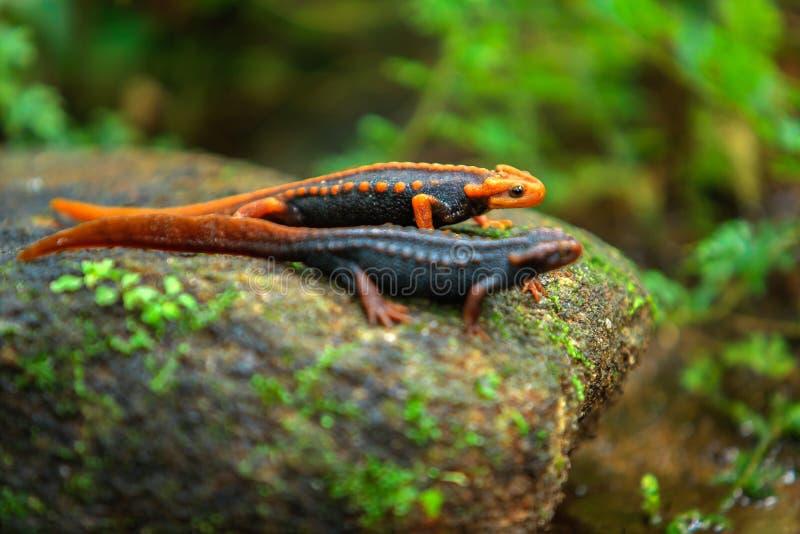 Krokodilsalamander royalty-vrije stock foto