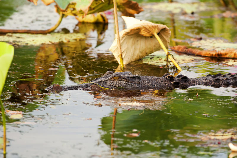 krokodilsaltwater royaltyfri fotografi