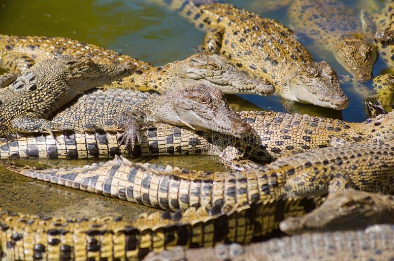 krokodilsaltwater royaltyfri foto