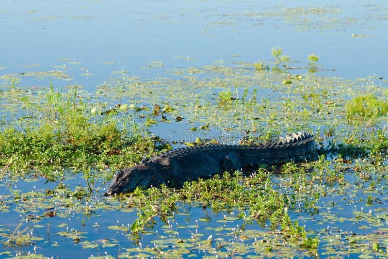 krokodilsaltwater arkivfoton