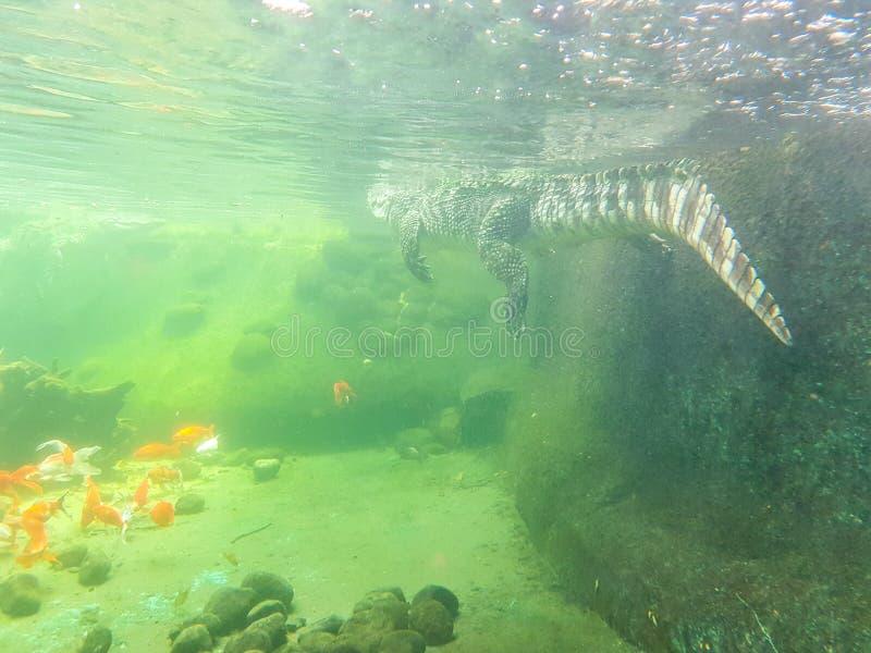 Krokodilschwimmen Unterwasser Weiche blaue Farben lizenzfreie stockfotos