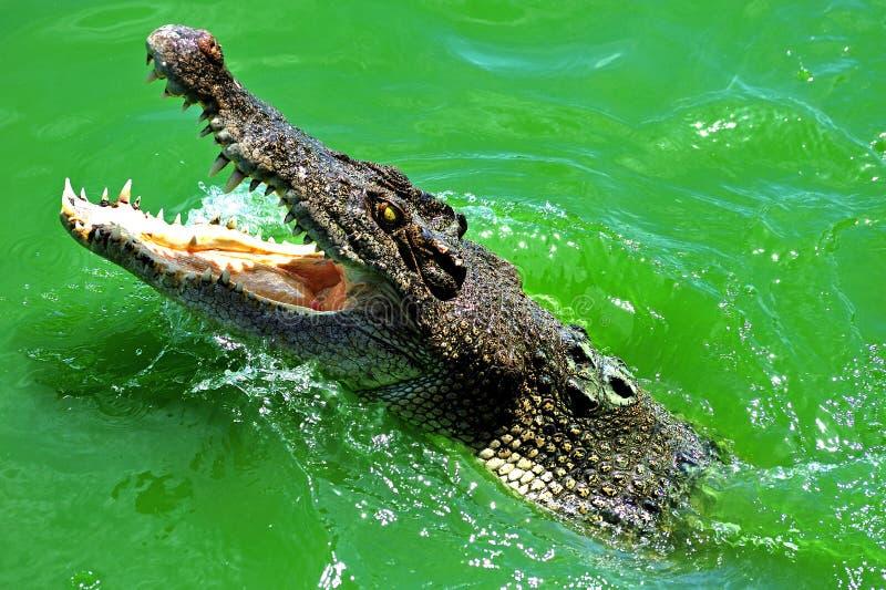 krokodilsimning royaltyfria foton