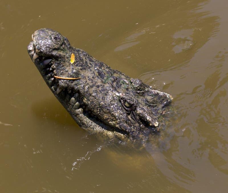 Krokodilstående royaltyfri bild