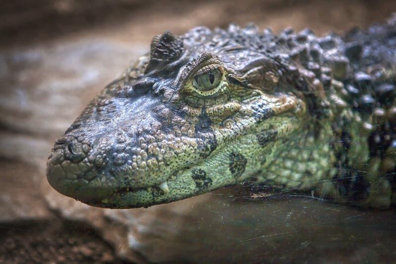 Krokodilst?ende arkivbild