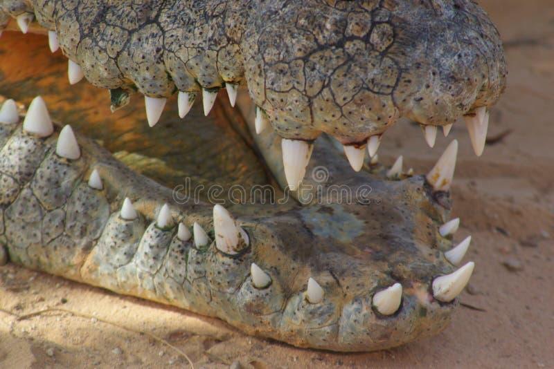 Krokodiltänder arkivfoton