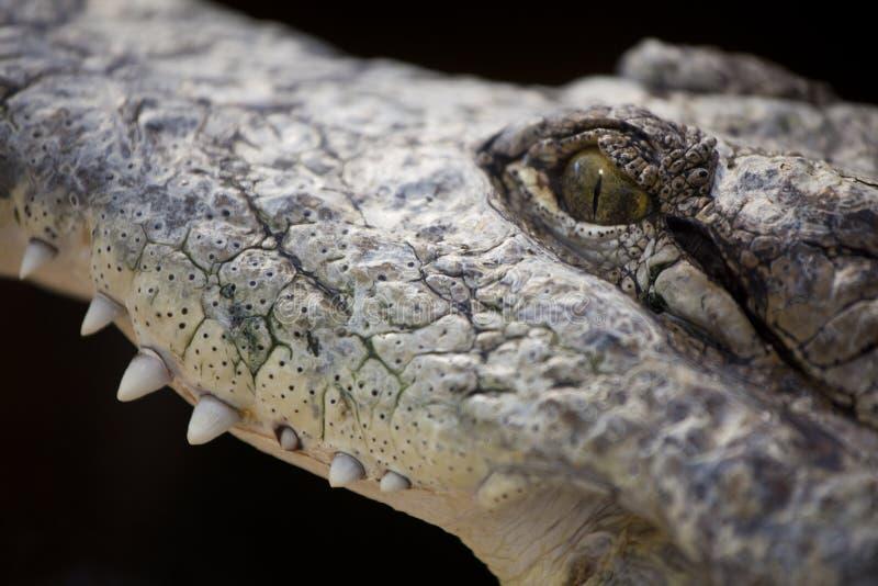 Krokodiltanden royalty-vrije stock afbeelding