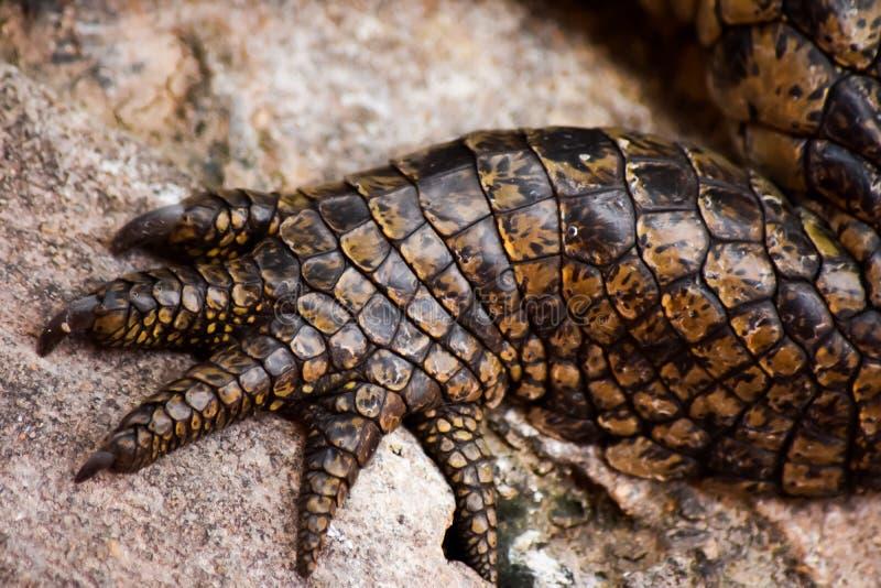 Krokodilvoet royalty-vrije stock afbeelding