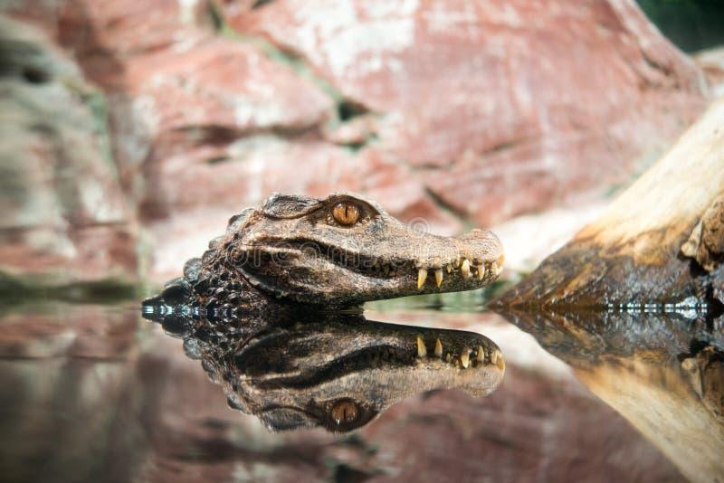 Download Krokodyl obraz stock. Obraz złożonej z spojrzenia, skały - 53786963