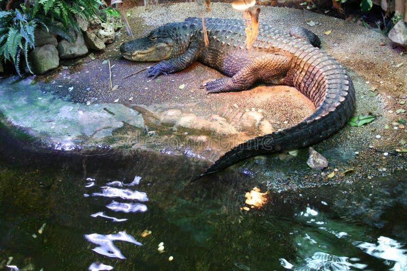 krokodyl aligatora zdjęcie stock