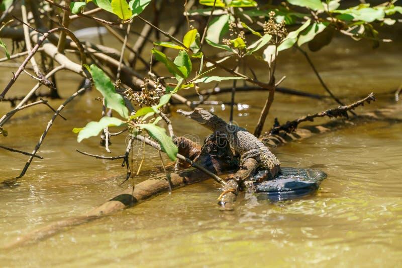 Krokodyl amerykański i x28;Crocodylus acutus& x29; dziecko, zabrane w Kostaryce obraz royalty free