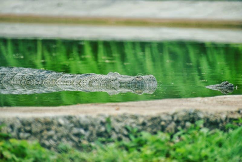 Krokodyl chujący w wodzie fotografia royalty free