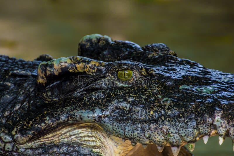 Krokodyl głowa Zakończenie zdjęcia stock