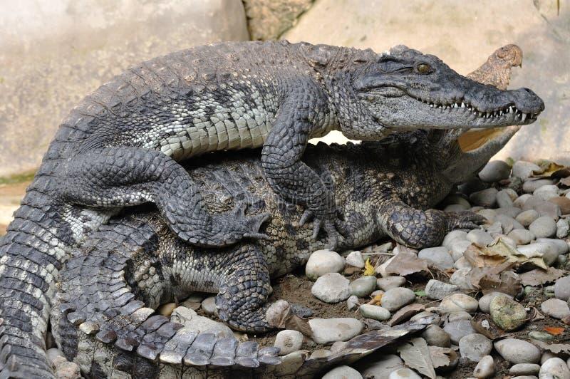 Krokodyl hodowla na skały ziemi obrazy royalty free