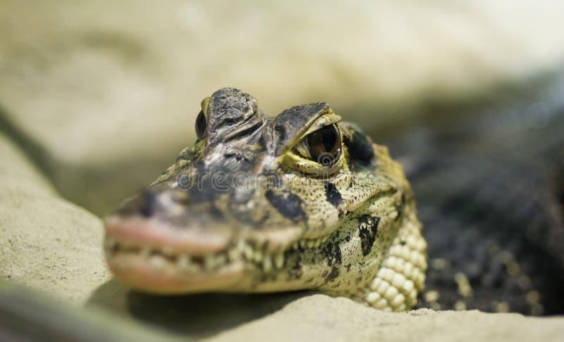 krokodyl mały zdjęcia stock