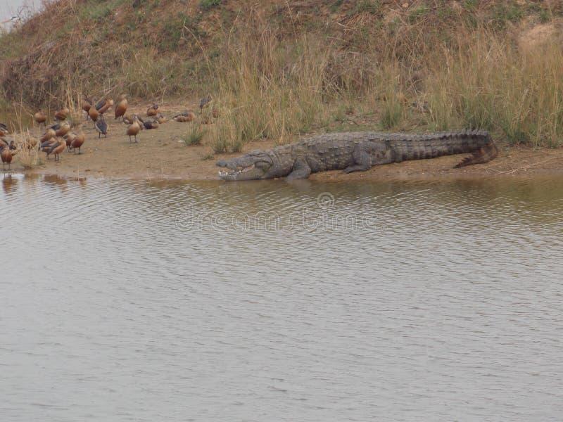 Krokodyl przy stawem obrazy stock