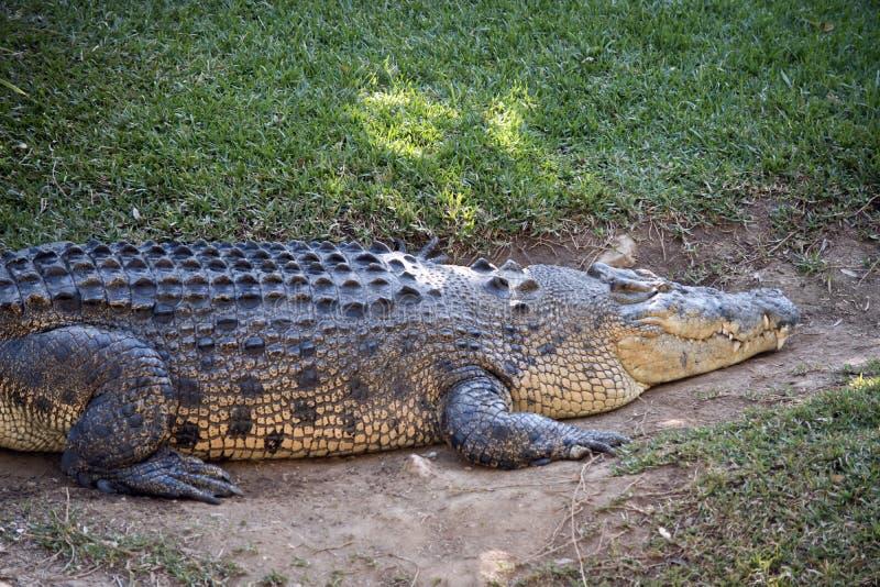 krokodyl słona woda obraz stock