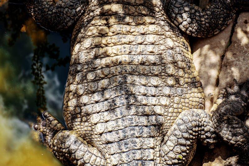 Krokodyl sucha skóra obrazy stock