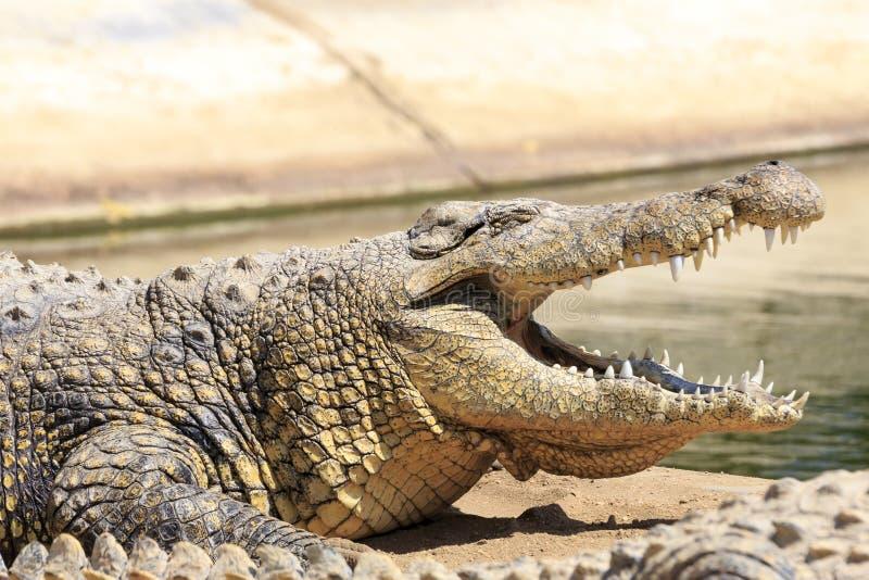 Krokodyl w Afryka obrazy royalty free