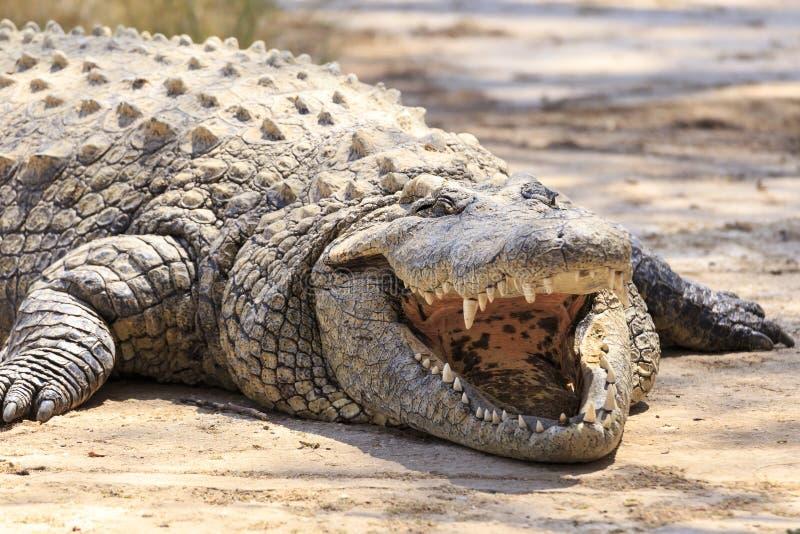 Krokodyl w Afryka obraz stock