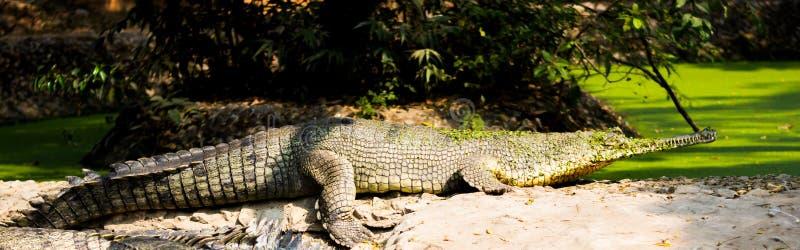 Krokodyl w alipore zoo kolkata ind zdjęcia royalty free