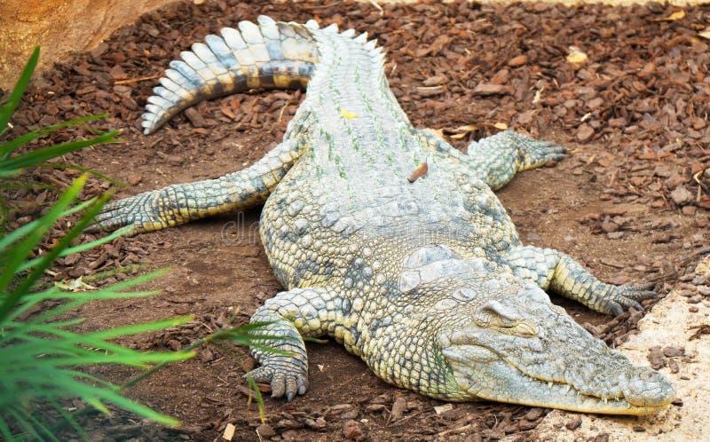 Krokodyl w krajowym zoo obrazy royalty free