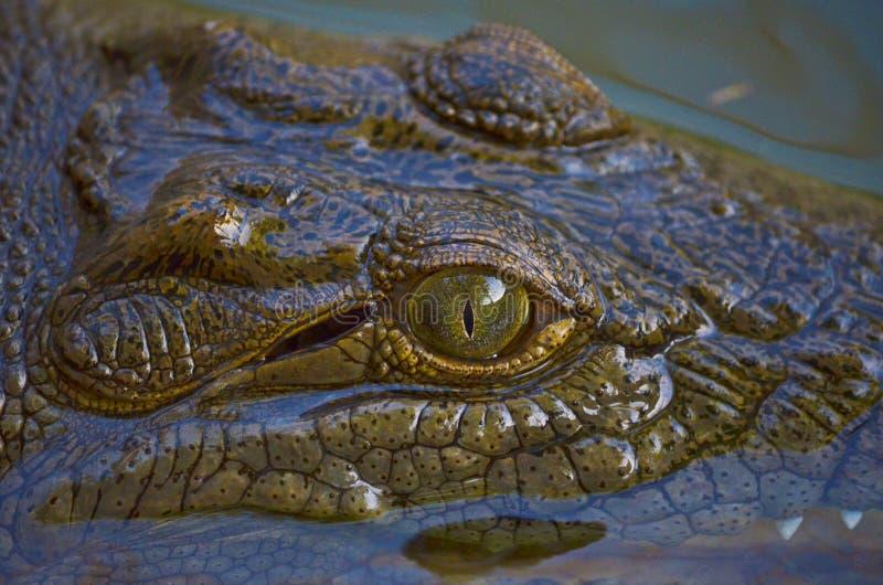 Krokodyl w Nil rzece obraz stock
