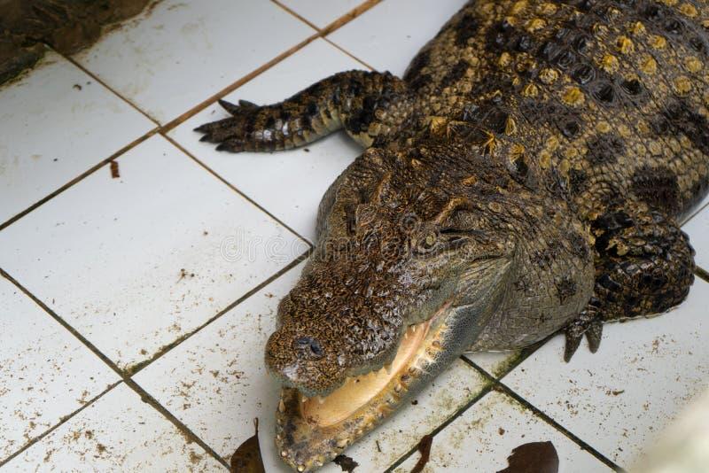 Krokodyl w Thailand obrazy stock