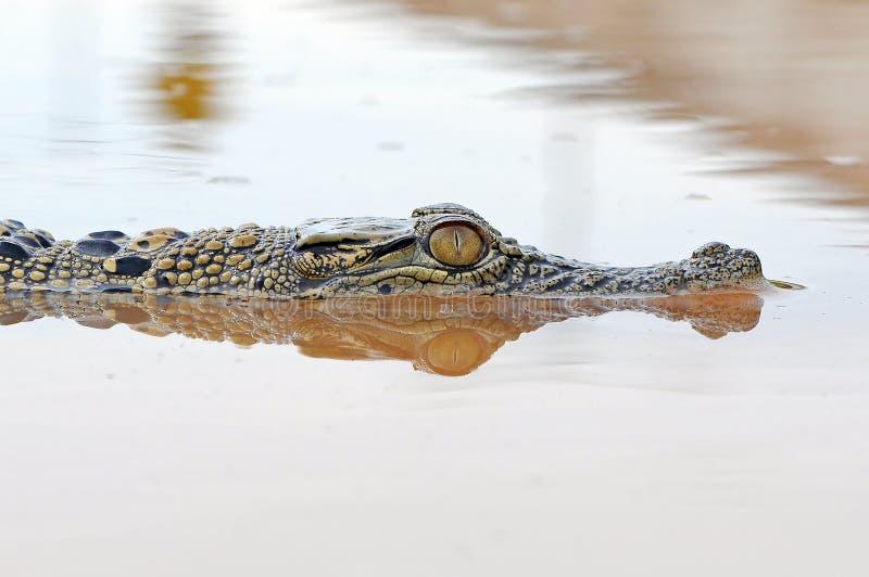 Krokodyl w wodzie zdjęcie royalty free